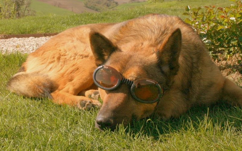 doggles sunbathing crop